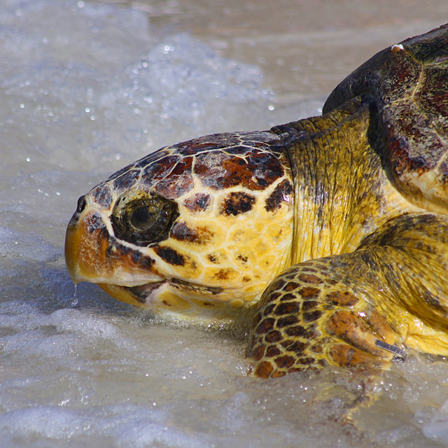 Sea turtle at the beach in Florida