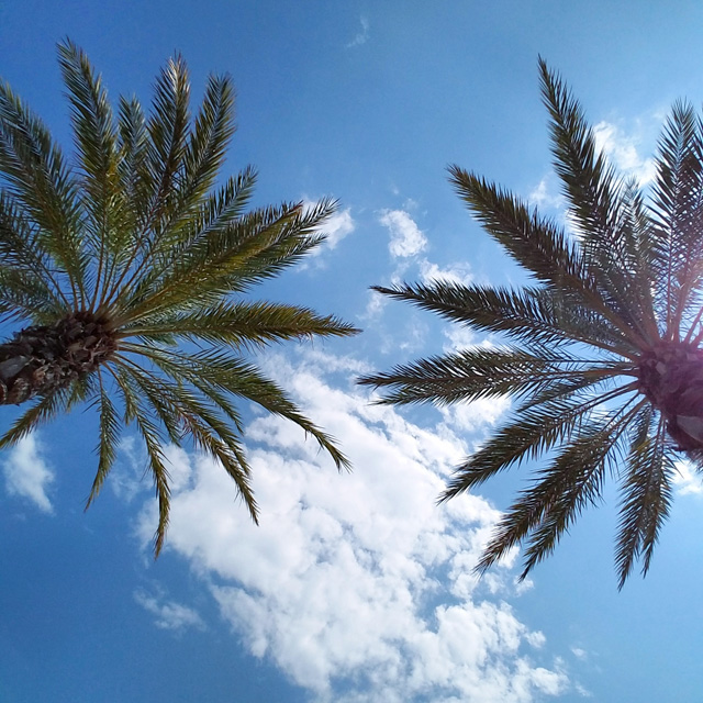 Palm trees in Destin